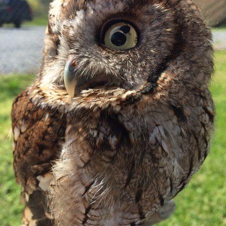 Belle - Eastern Screech Owl