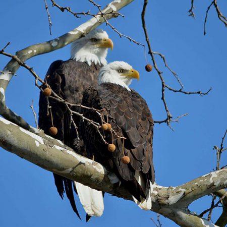 nefl eagle cam donation american eagle foundation American Eagle Outfitters American Eagle Outfitters