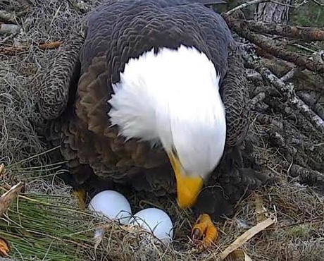 Eagle Egg Hatching American Eagle Foundat...