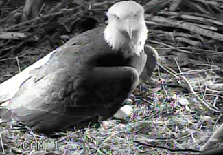 And at night our infrared cameras let us observe without disturbing the eagles in any way.