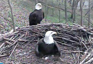 Both parents shared in the responsibility of brooding and protecting the eggs.