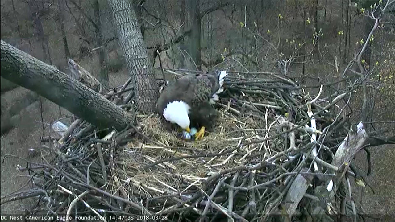 High in the nest of a Tulip Poplar tree in the DC Arboretum, treasures are kept safe by Bald Eagles 'Mr. President' & 'The First Lady.'
