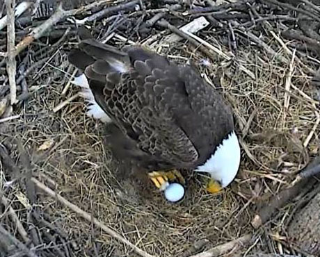 Bald Eagles Mr. President & The First Lady Welcome First Egg of 2018
