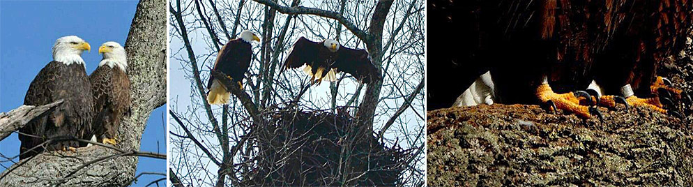 L-R: Lady & Sir Hatcher II; their new nest; third photo shows ankle bands on both eagles.