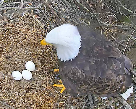 AEF's Smoky Mountain Eagle Nest Cam Is Now Live