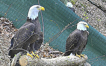 live hd nest cams american eagle foundation