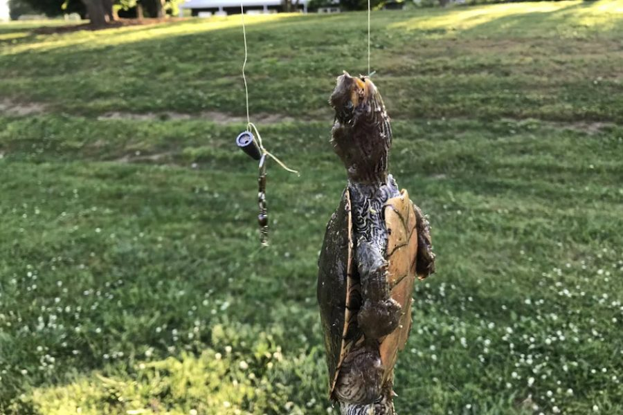 A dead turtle with fishing line and hook still attached.