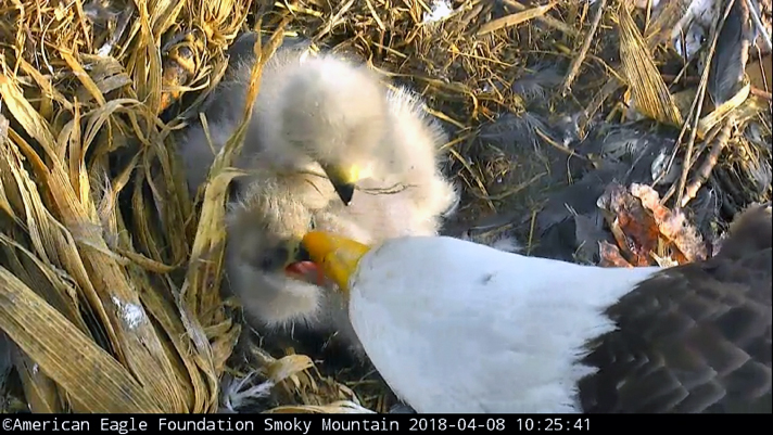 Lady Independence gently feeding baby eaglet.