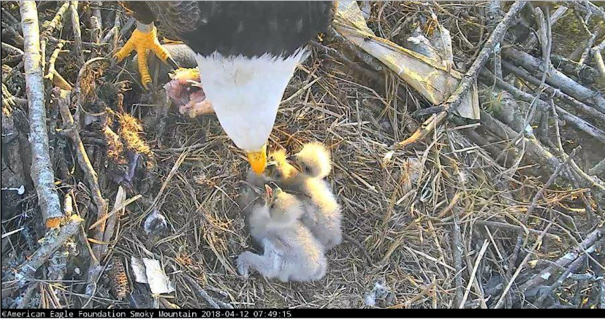 Little eaglets lining up for dinner.