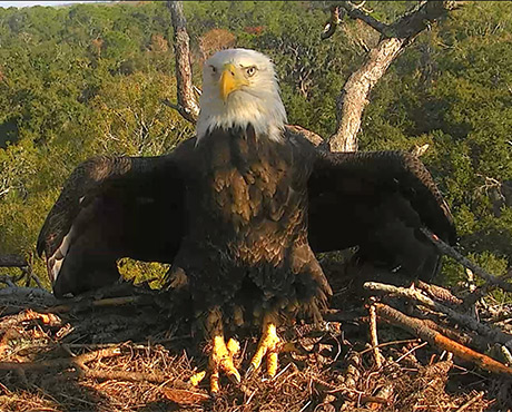 5 Best Eagle Cams From Florida To Washington