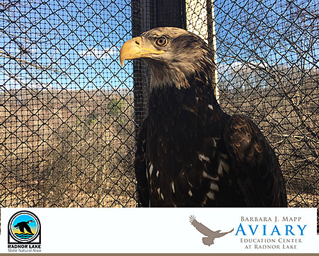 Radnor Lake in Nashville Opens Eagle Aviary on American Eagle Day 2019