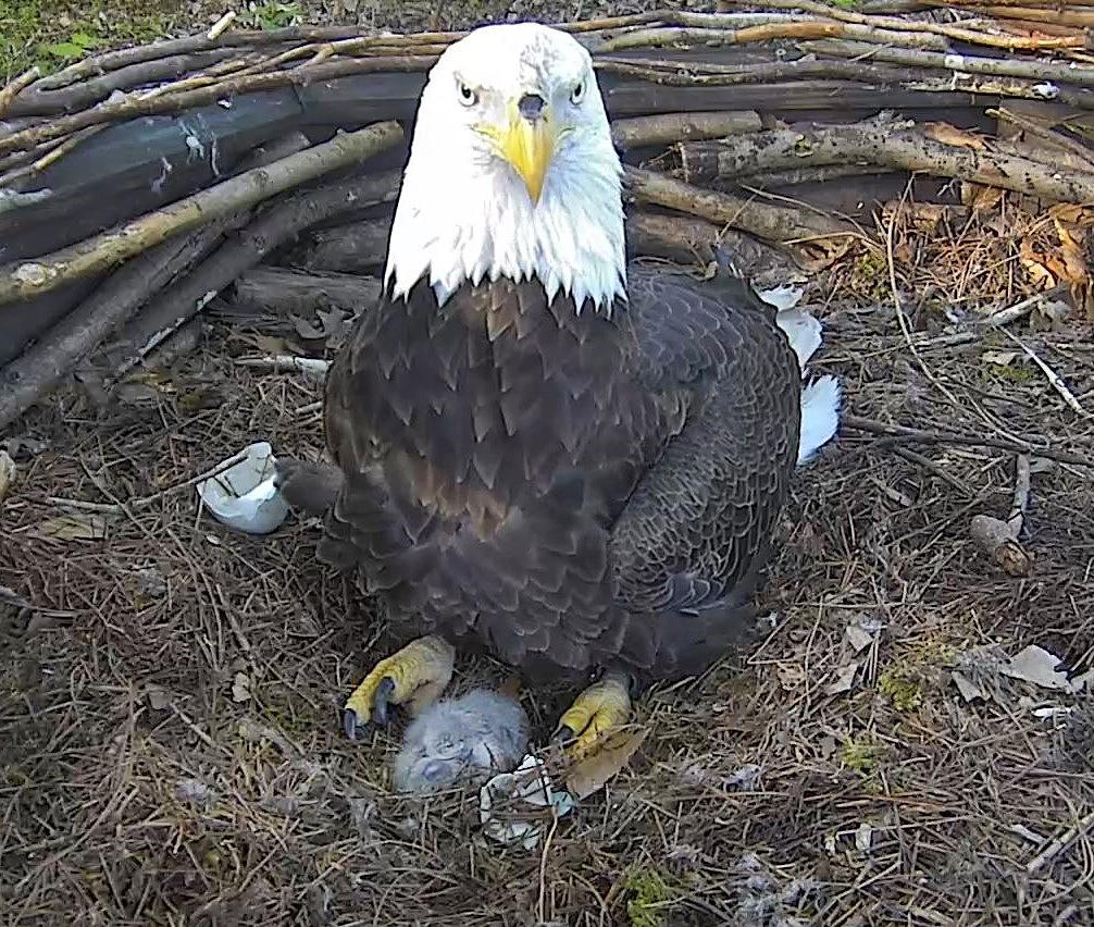 2019 Dollywood Nesting Season – American Eagle Foundation