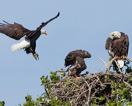 Colorado Front Range Eagle Nests Need Immediate Help