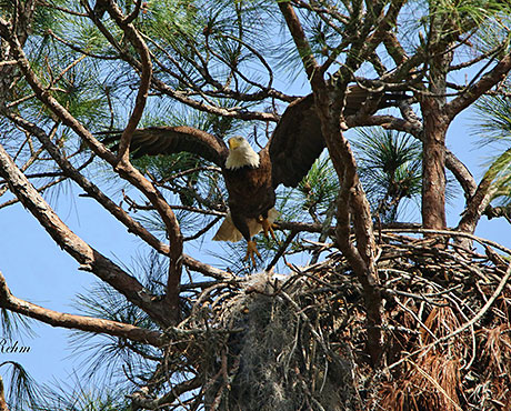 AEF Launches New Eagle Cam at Welaka National Fish Hatchery